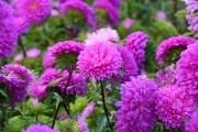 Цветоводы в августе: день за днем
