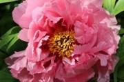 Вегетативное размножение цветочных растений