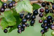 По законам природы: выращиваем органическую смородину