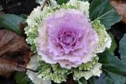 В кружевном одеянии: выращиваем декоративную капусту