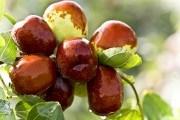 Священное дерево — зизифус