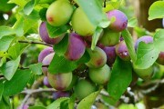 """Имя сливы: сорта для """"плодового конвейера"""""""