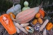 Совмещенные посадки фасоли, тыквы и кукурузы