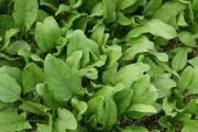 Польза и питательная ценность шпината