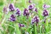 Тимьян, трава жизни