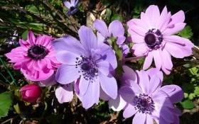 Анемона или ветреница: размножение, агротехника, сорта и виды