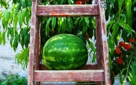 Выращивание арбузов: жара и зной им на пользу