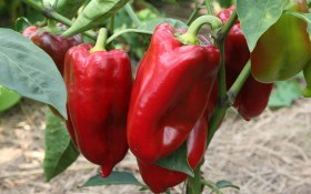 Болгарский перец: особенности выращивания