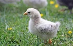Детский сад для цыплят: выводим в инкубаторе