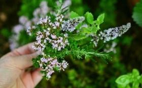 Аромат лета: пряные травы в огороде и на клумбе