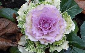 В кружевном одеянии: выращиваем сорта декоративной капусты