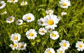 Нивяник в вашем цветнике: выращивание, размножение, агротехника, виды и сорта