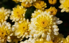 Хризантемы из семян, или сам себе селекционер