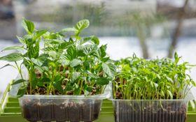 Образцовая рассада: выращивание рассады в домашних условиях