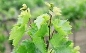 Как посадить черенки винограда
