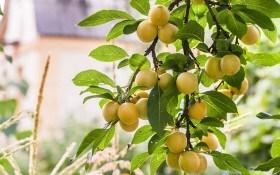 Союз красоты и вкуса — алыча крупноплодная: тонкости выращивание и популярные сорта