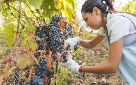 Палитра вкуса винограда: популярные столовые и технические сорта