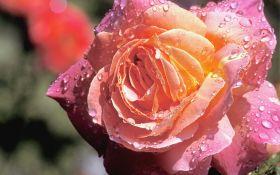 Чайно-гибридные розы: какие сорта выбрать?