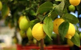 Болезни цитрусовых при выращивании закрытом грунте