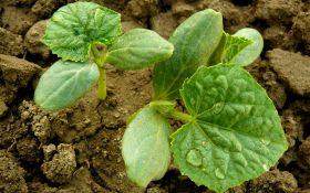 Выращиваем «букетные» огурцы. Секреты успеха