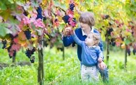Подготовка к зиме: как обрезать и укрыть виноград