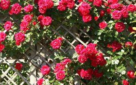 4 самых лучших сорта плетистых роз