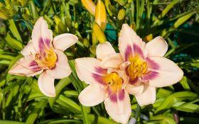 9 основных причин, почему не цветет лилейник