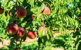Искусство выращивать персики. Советы профессионалов