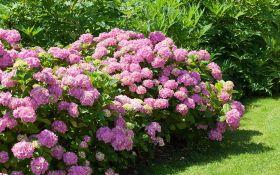 Дивные гортензии: выращивание, уход и декоративное применение