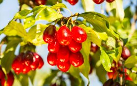 Выращивание кизила: условия успеха