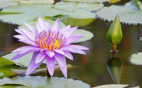 Водяные лилии или нимфеи: виды, сорта, выращивание и уход