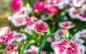 Гвоздика китайская: выращивание, уход, популярные сорта