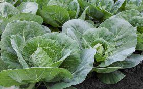Как вырастить крепкую и здоровую рассаду белокочанной капусты. Советы профессионала