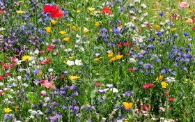 Создаем цветущую лужайку: виды и основы агротехники