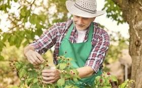 5 важных агроприемов: уход за малиной в засушливое лето