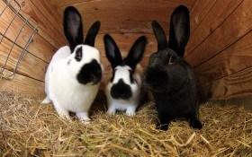 5 важных признаков оценки кроликов при проведении племенной работы