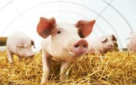 ТОП-6 незаразных заболевания свиней: профилактика и лечение