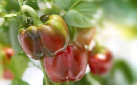 Сладкий перец: фавориты сезона