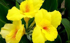 Выращивание канн — украшения вашего цветника