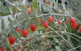 Каша из ягод дерезы