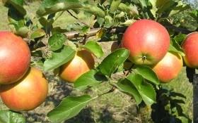 Фитофтороз яблони