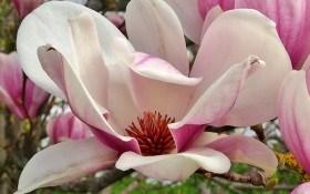 Прелесть цветущей магнолии: выращиваем в умеренном климате