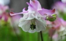 Утонченная аквилегия: выращивание, виды и сорта