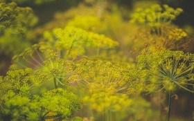 Пусть зелень будет пышной: болезни зонтичных и зеленных культур и их профилактика