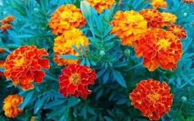 Лучшие летники для цветника: выращиваем бархатцы