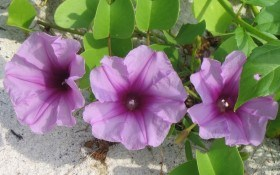 Пестрые ширмы – однолетние лианы в дизайне сада и цветника