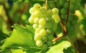 Наука о вершках и корешках: размножаем виноград укоренением черенков