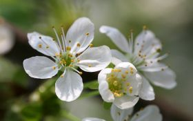 Графиня вишня: посадка, выращивание, уход и обрезка