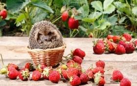 Клубника: правила пересаживания сладкой ягоды