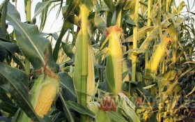 Особливості вирощування цукрової кукурудзи